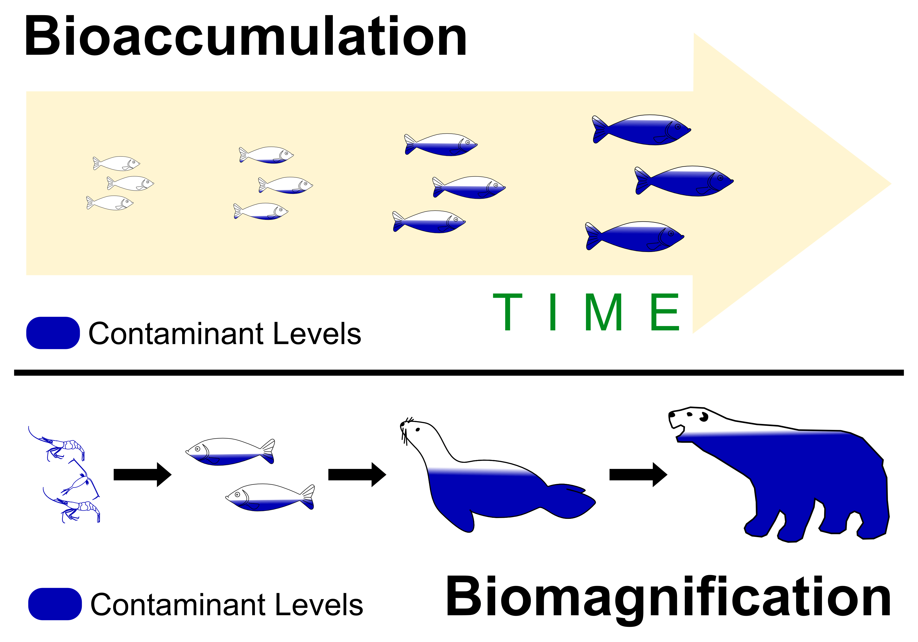 biomagnification occurs across different trophic levels in a food chain