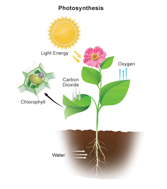 plants and photosythesis Photosynthesis definition, the complex process by which carbon dioxide, water, and certain inorganic salts are converted into carbohydrates by green plants, algae, and certain bacteria, using energy from the sun and chlorophyll see more.