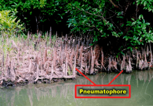 Pneumatophores Roots