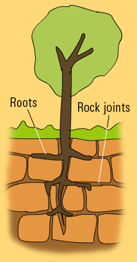 tree-roots-causes-biological-weathering