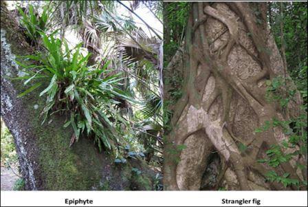 Epiphytes & Strangler fig